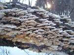 shelf fungi on log near river